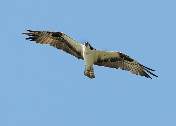 Osprey (Sea Hawk)