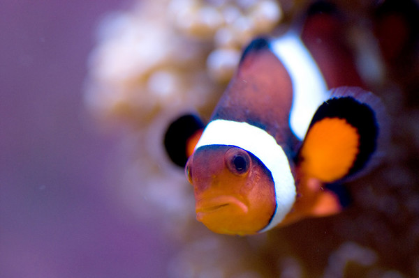 Percula Clownfish (Amphiprion)