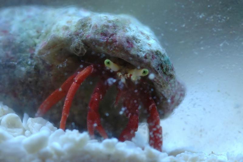 Scarlet Reef Hermit Crab (Paguristes cadenati)
