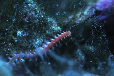 Bristle Worm/Fire Worm