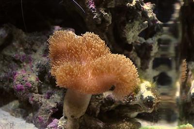 Mushroom Leather Coral Sarcophyton sp.