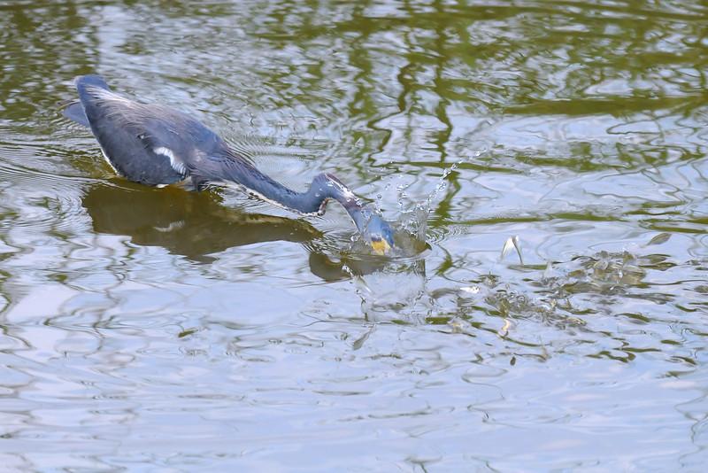 Young heron fishing