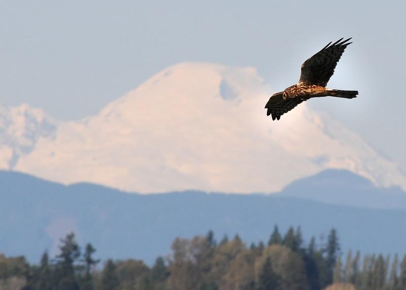Northern Harrier & Mt. Baker