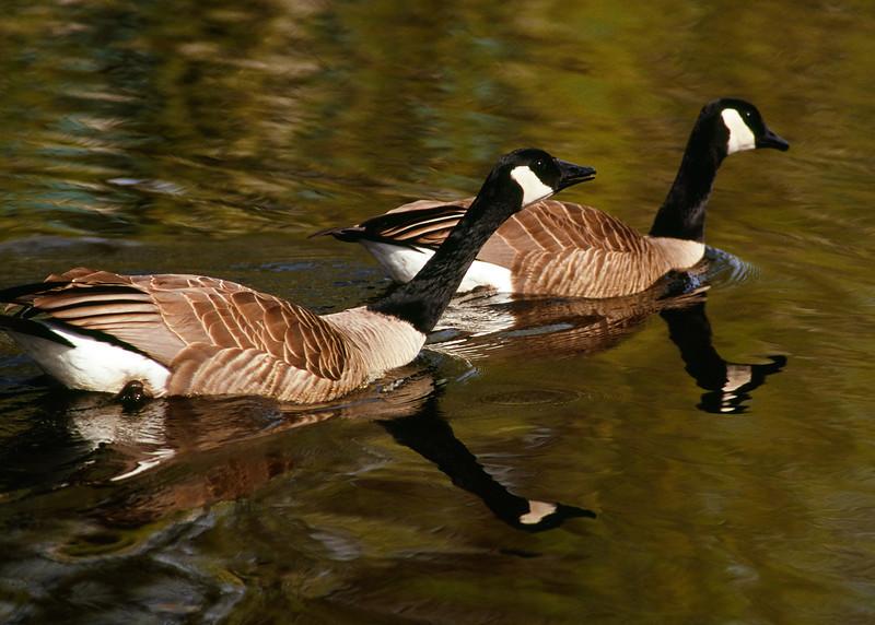 Geese Pair not being nice